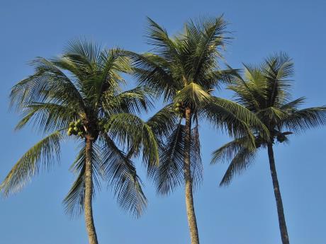 kokosbluetenzucker kokospalme