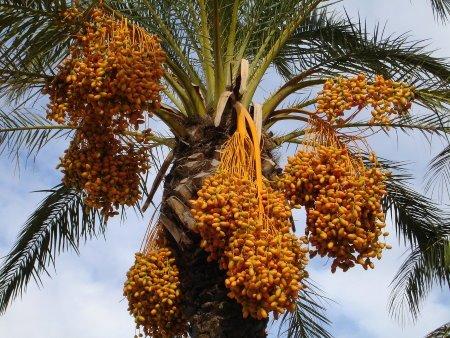 dattel palme dattelsirup