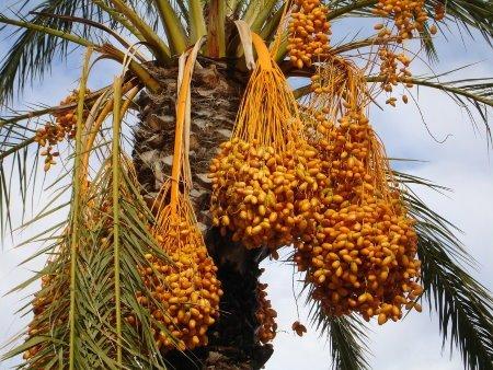 dattel palme dattelzucker